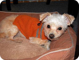Brooklyn, NY - Maltese/Chihuahua Mix  Meet Ariel a Dog for