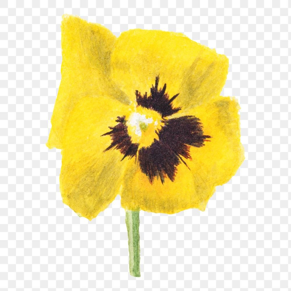 Yellow Pansy Flower Png Botanical Illustration Watercolor Free Image By Rawpixel Com In 2020 Flower Illustration Botanical Illustration Watercolor Pansies Flowers