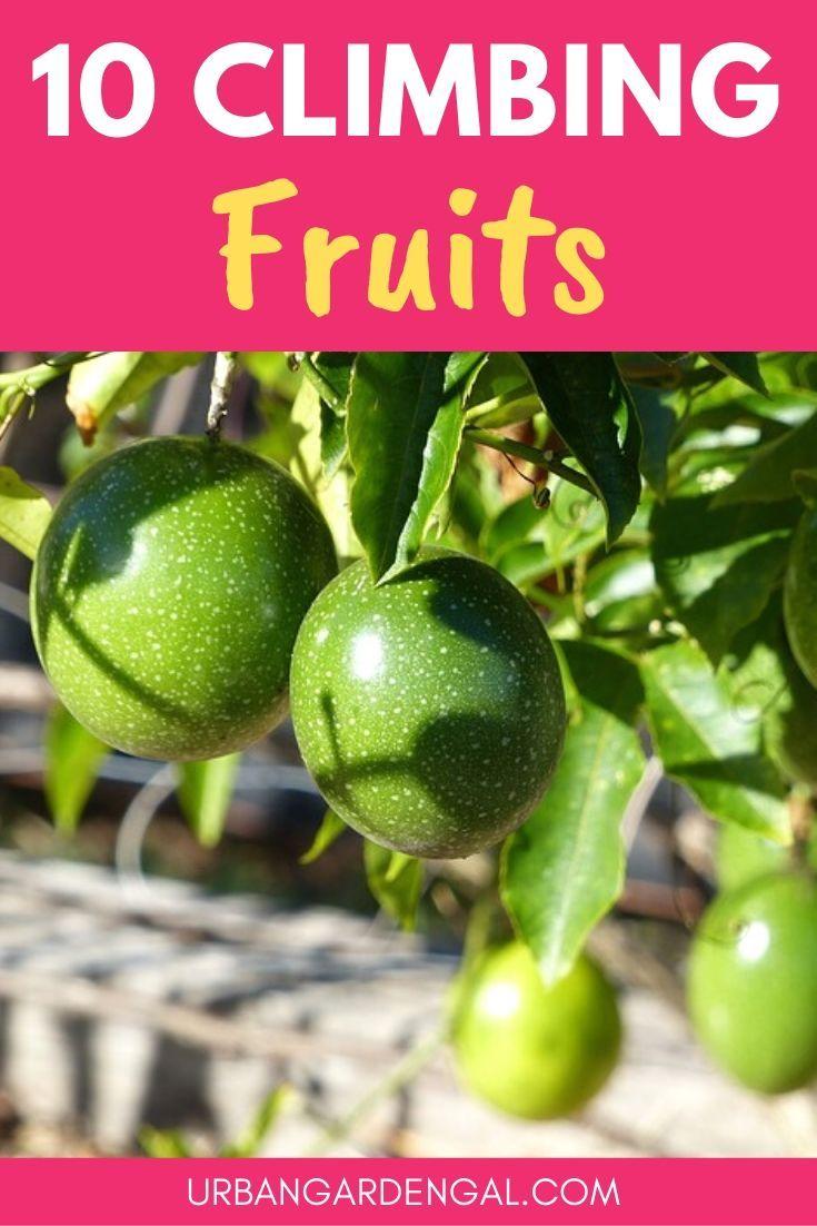 10 Climbing Fruit Plants Fruit Plants Indoor Fruit Plants 400 x 300