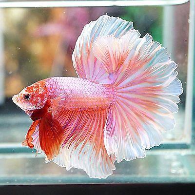 Live Betta Fish Male Fancy Beautiful Sweet Pink Rosetail Halfmoon Hm Beautiful Fish Betta Fish Betta