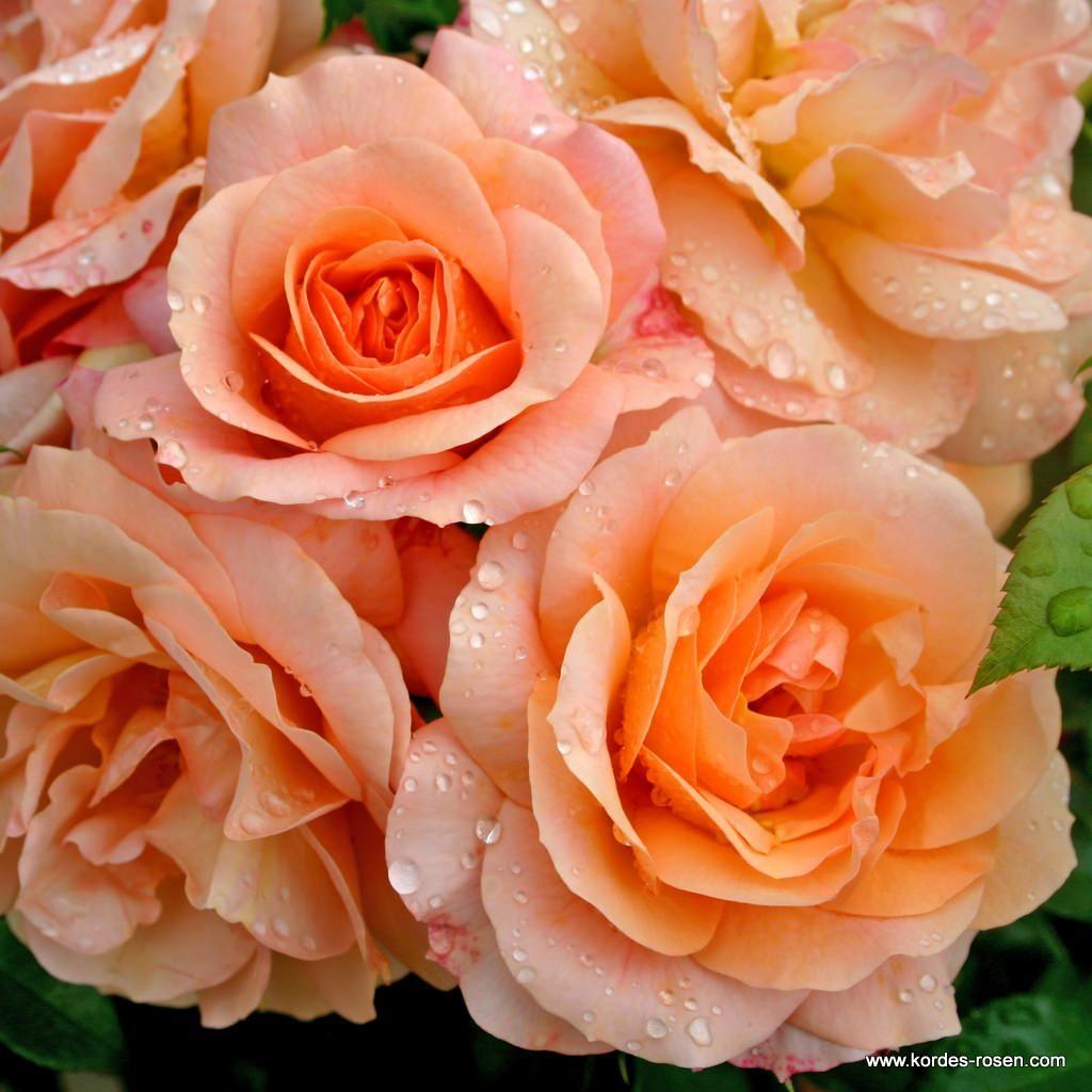 Aprikola Kordes Rosen Pflanzen Rosen Pflanzen