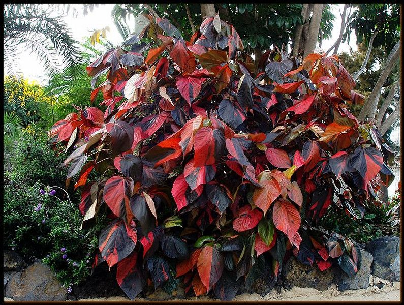 366f84ae43589c990024fd804b8920b5 Red Leaves Tropical Houseplant on orchids red, poinsettia red, cactus red, trees red, succulents red,