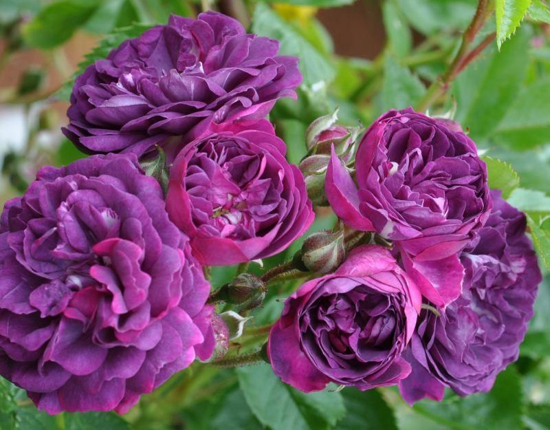 Bleu Magenta (Palatine Roses)