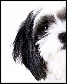 Cartoon Of Black And White Shih Tzu Google Search White Dog Photography Shih Tzu Dogs