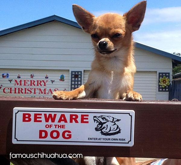 Meet Taco An Adorable Pure Bred Mexican Chihuahua From Australia