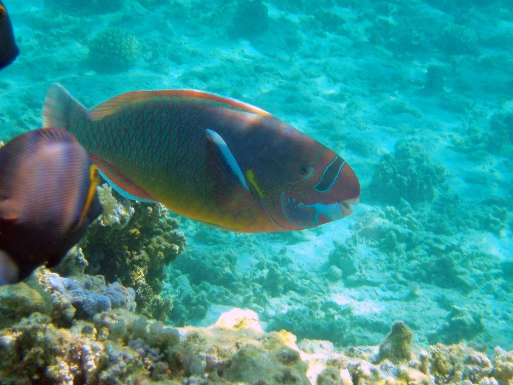 Uhu spectacled parrotfish a spectacled parrotfish for Hawaii reef fish
