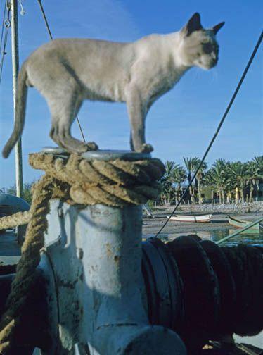ships cat.jpg 374×504 pixels