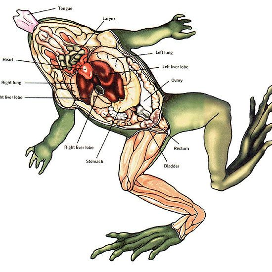 Dissected Frog Frog Diagram Anatomy