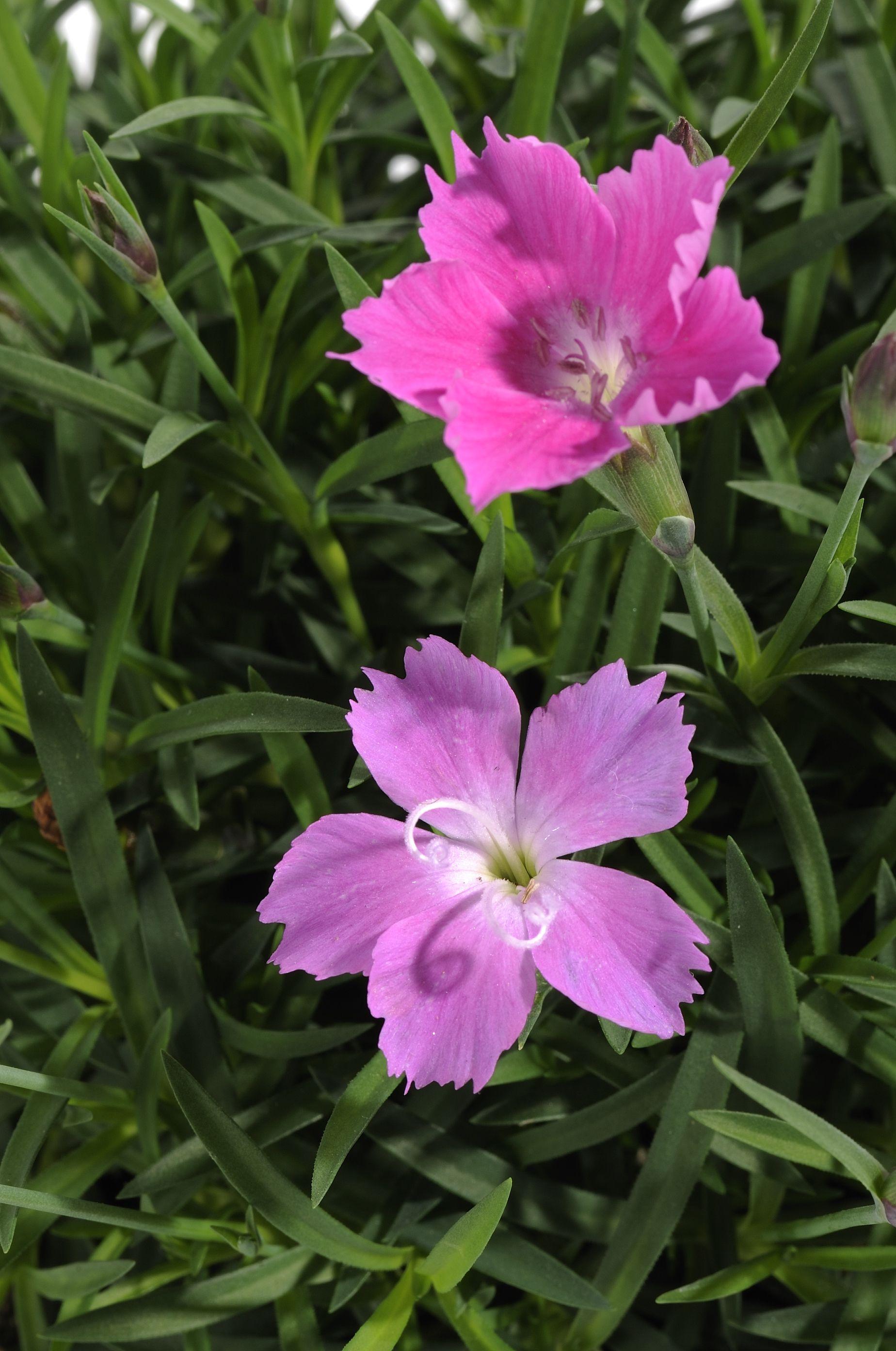 Fiori Kaori.Garden Center E Il Tuo Centro Giardinaggio Di Fiducia