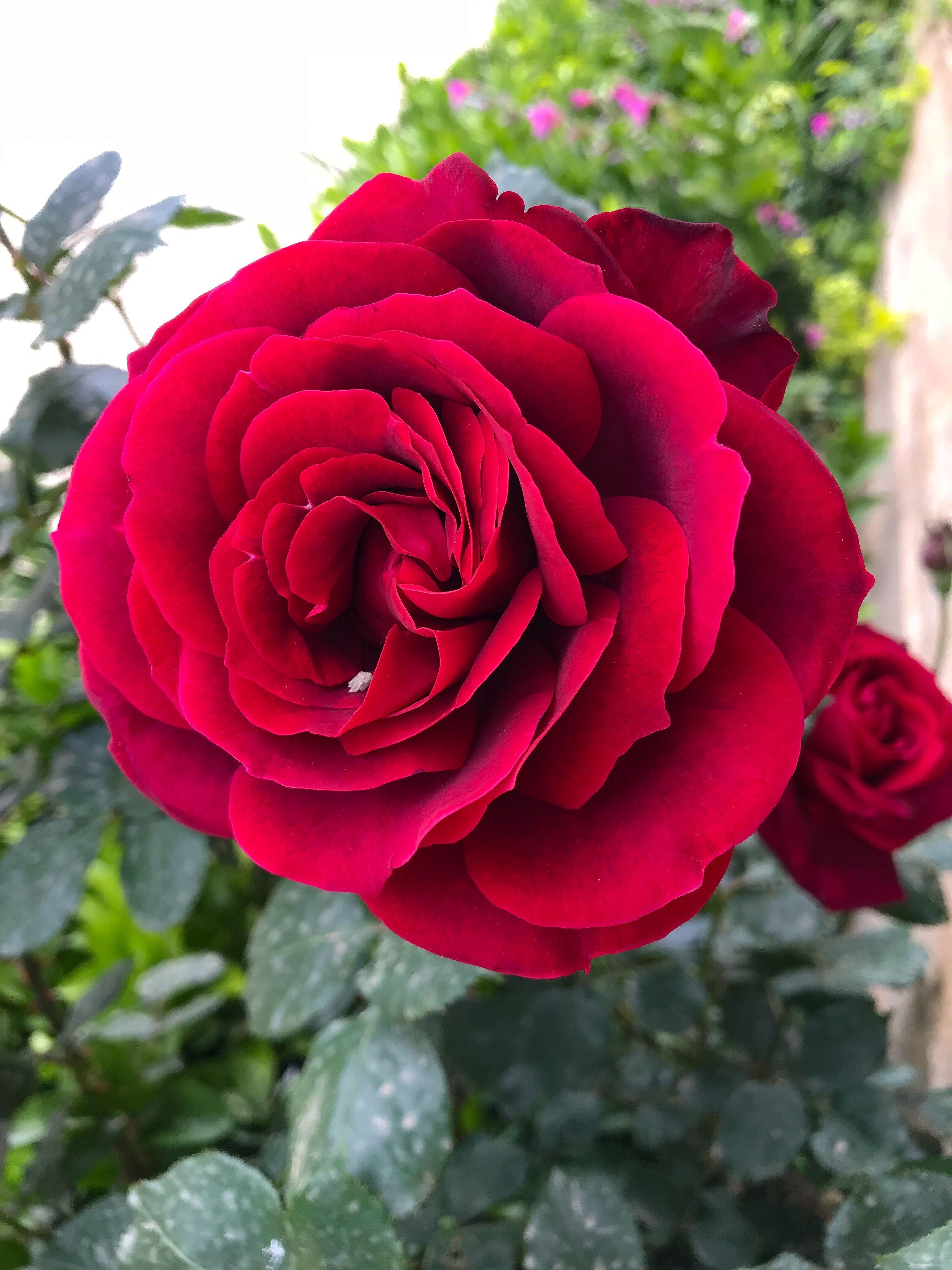 Pin De Mary Kay Hayden En Flowers Rosas Flores Rosa Roja