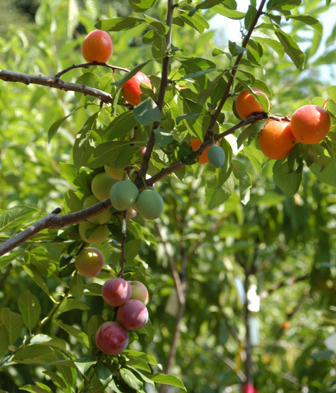 The Gift Of Graft New York Artist S Tree To Grow 40 Kinds Of Fruit Grafting Fruit Trees Fruit Trees Fruit