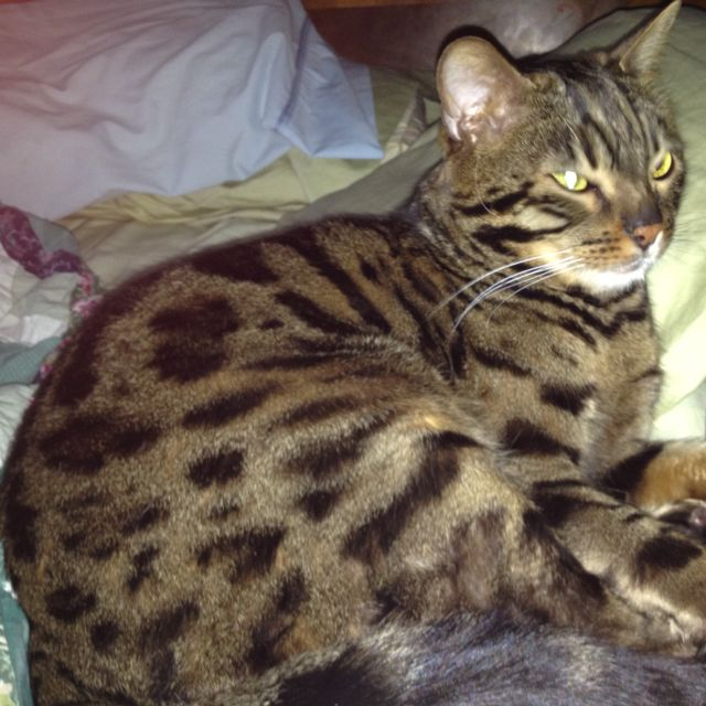 Marco Our Beautiful Bengal Cat Cats And Kittens Bengal Cat Cats