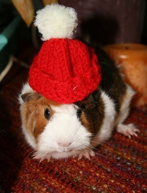 Free #knitting pattern for guinea pig hat!  Made with straight knitting needles and seamed up in the back.  Fun stuff! :)