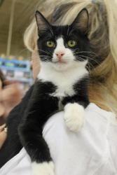 Adopt Tuxedo On Cat Adoption Feline Adoption