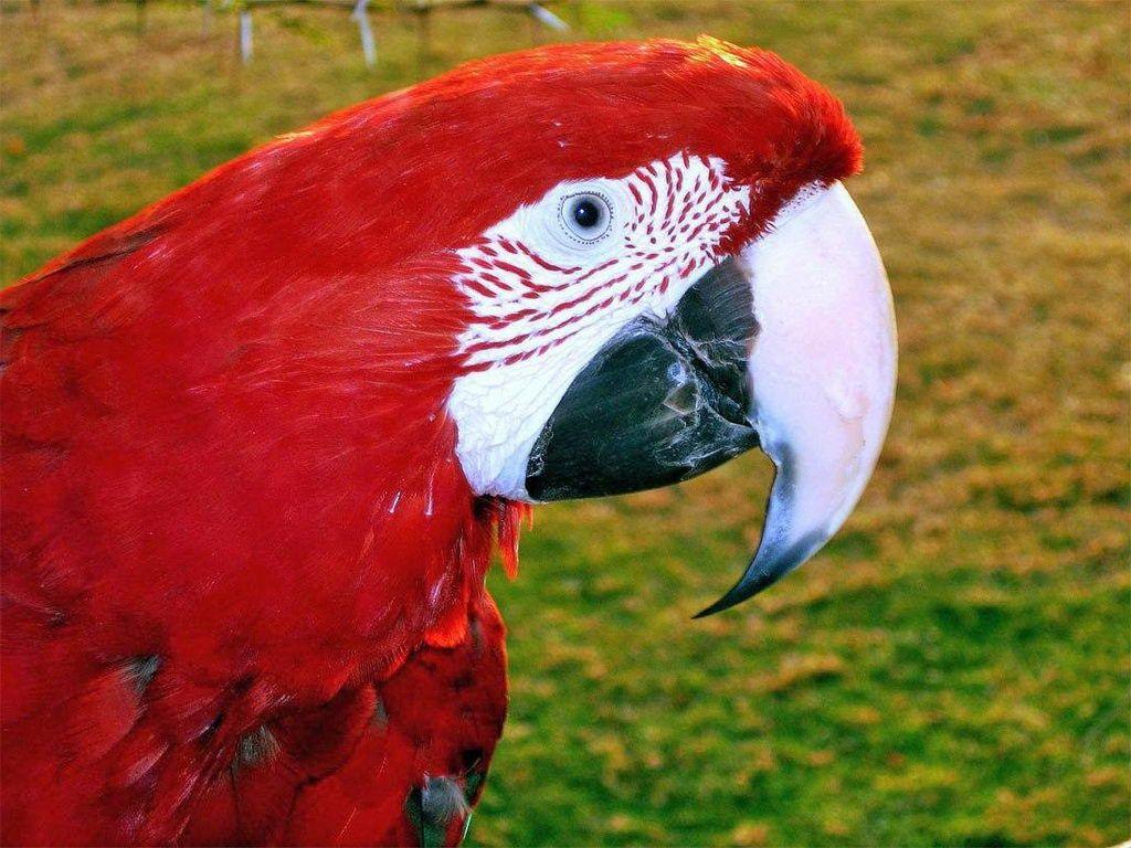 Macaw,_Green-winged_Arno_Louise.jpg (1024×768)