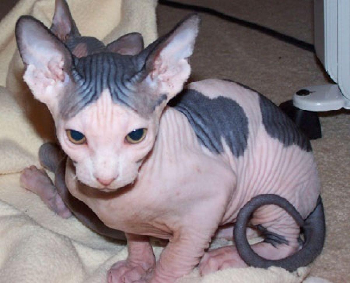 Pin by Sphynx kittens for sale on sphynx kittens Pinterest