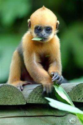 Le capucin petit singe d 39 am rique passion animale m - Le singe d aladdin ...