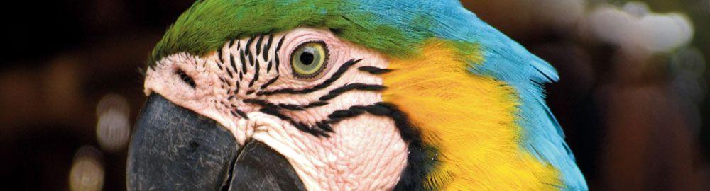 Papagayo de la Jungla Ecuatoriana