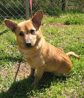 Welsh Corgi Beagle Mix Dog For Adoption In Carrollton Georgia