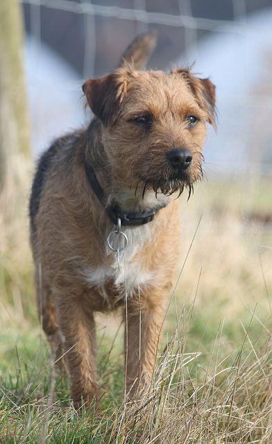 Spud Border X Lakeland Terrier Lakeland Terrier Terrier