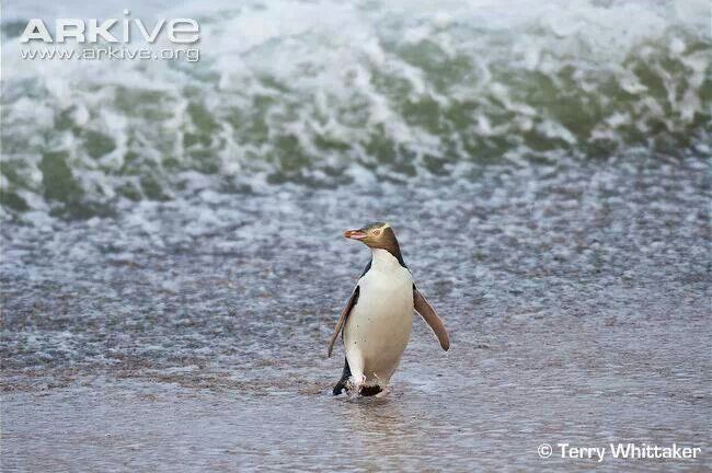 Yellow-eyed Penguin from New Zealand. One of the most endangered.