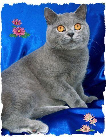 British Shorthair Cat British Shorthair Cats British Shorthair Cat Pics