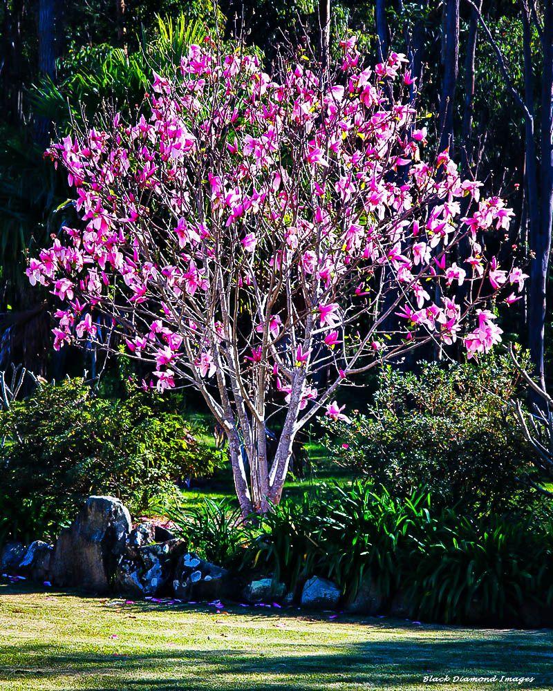 Ann Magnolia Garden Magnolia Trees Garden Trees Spring