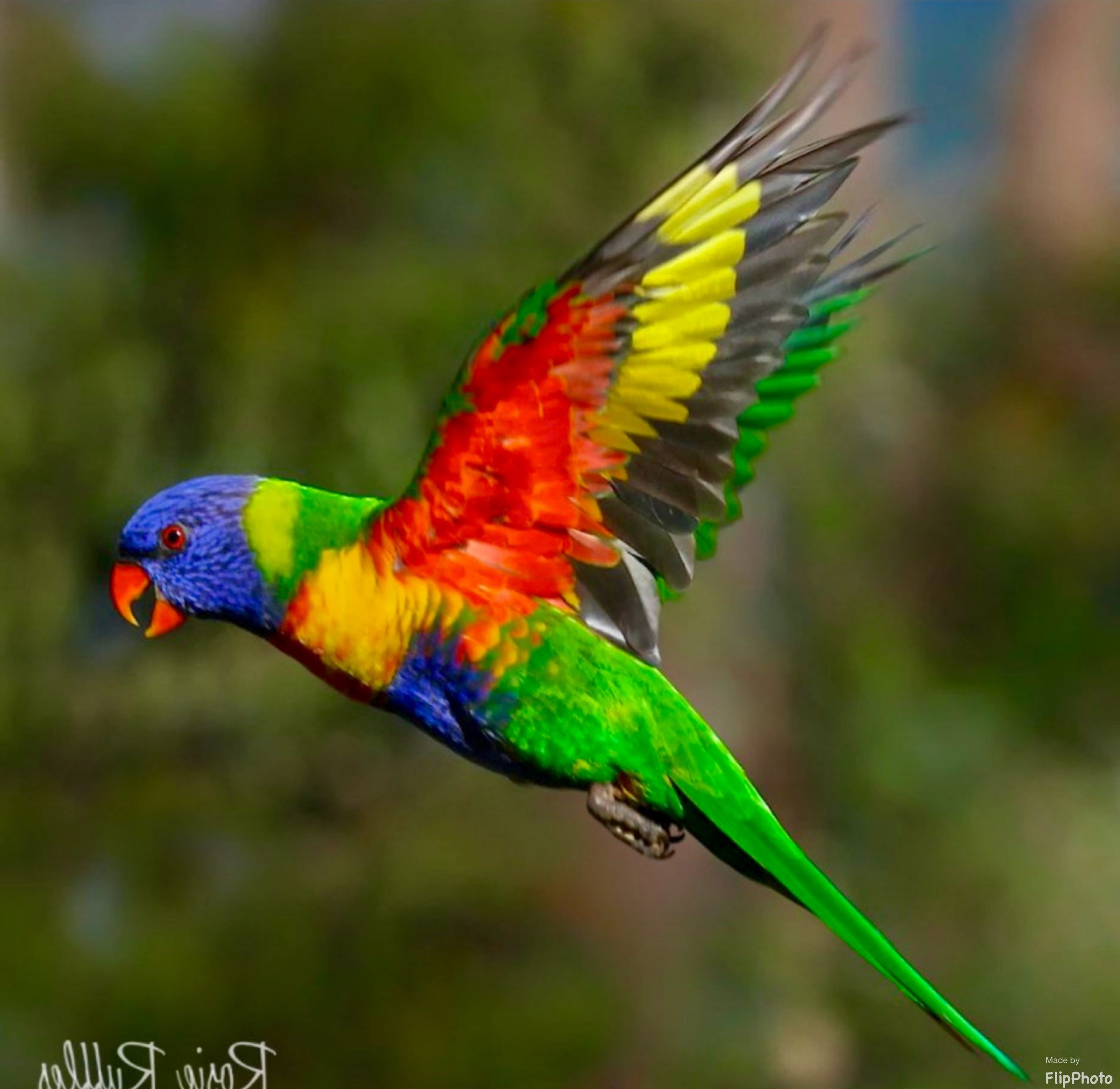 Rainbow Lorikeet With Images Beautiful Birds Australian Birds