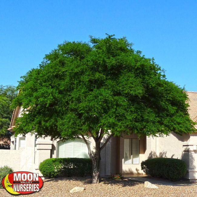 Texas Ebony Desert Trees Backyard Trees Fast Growing Shade Trees