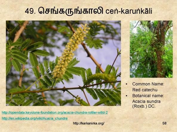 49 ச ங கர ங க ல Cneṅ Karuṅnkali Flower Names Good Thoughts Quotes Flowers