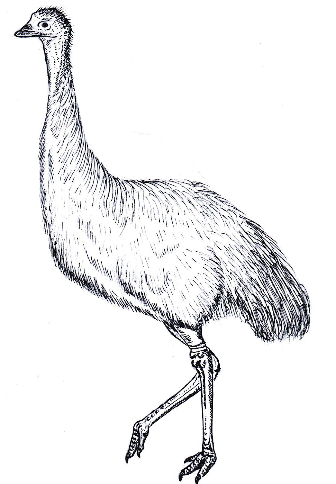 Emu Colouring In Google Search Desenhos
