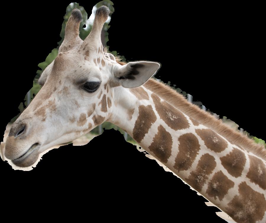 Stock Png Giraffe Head By Earthymoon Giraffe Giraffe Head Giraffe Images