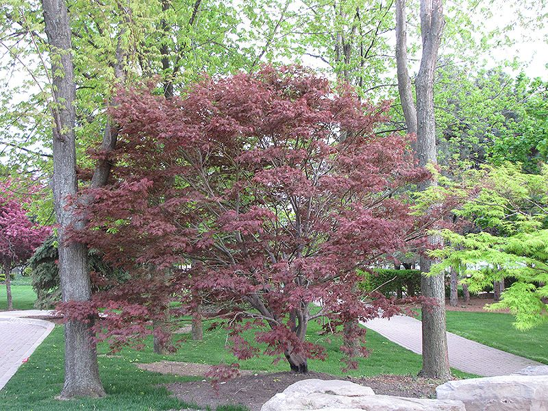 Genial Japanese Garden Plant List | ... To View Full Size Photo Of Burgundy Lace  Japanese Maple (Acer Palmatum