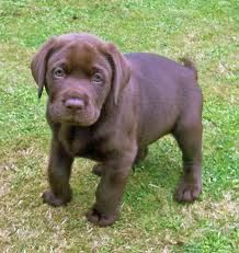 Chocolate Lab Looks Like Our Mason When He Was A Puppy Lab Puppies Chocolate Lab Puppies Puppies