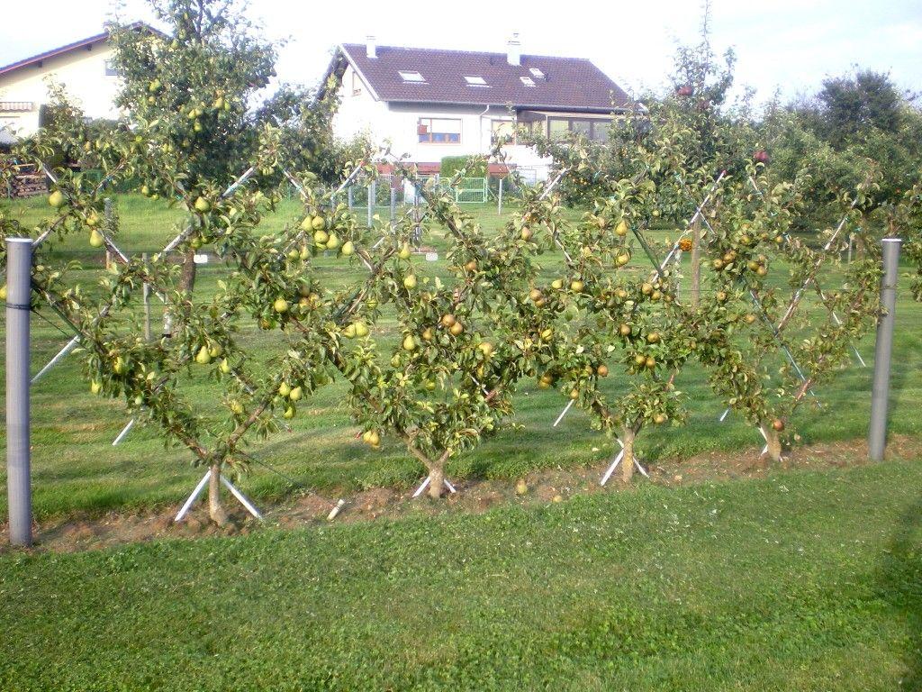 poiriers en croisillon sur le palissage palissage pour arbre fruitier fruitier jardin. Black Bedroom Furniture Sets. Home Design Ideas