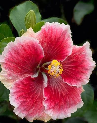 Cajun Hibiscus I Have Hibiscus Every Yearnon Stop Blooms Til