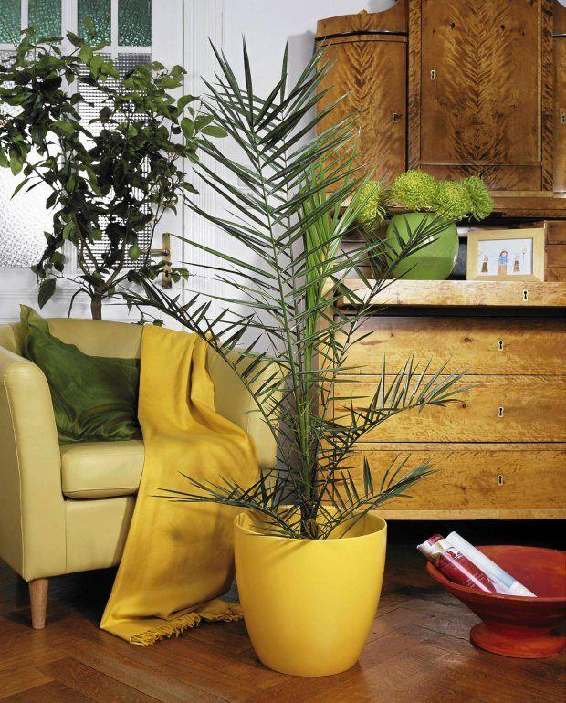 Palma Daktylowa Phoenix Dactylifera Ogród Ogrody