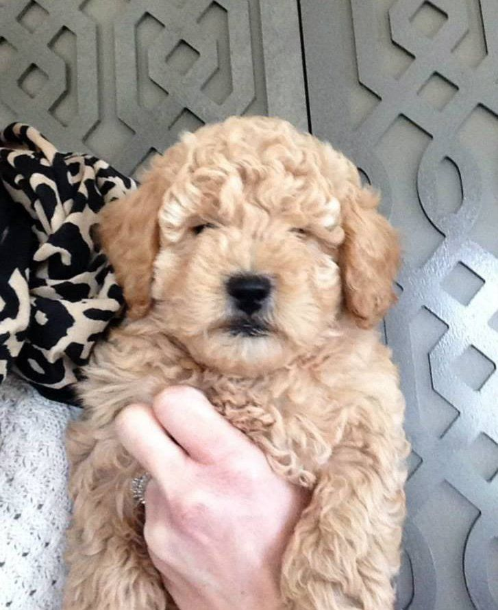 Goldendoodle Puppies San Francisco For Sale Goldendoodle Puppies