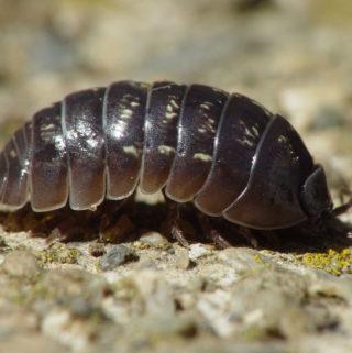 rolliepollies Pill bug
