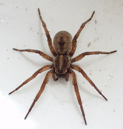 The Giant Hawaiian Cane Spider Crawling Over A House Wall Spiders
