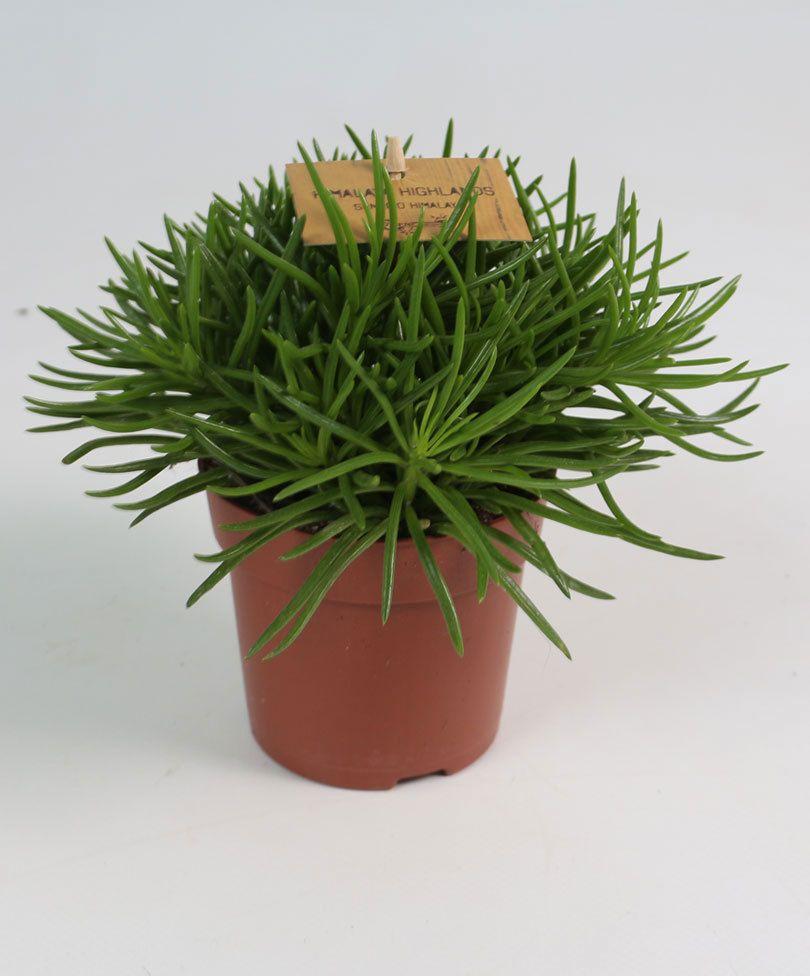 plante grasse himalaya