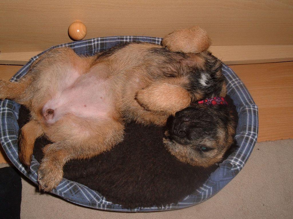 Lottie puppy