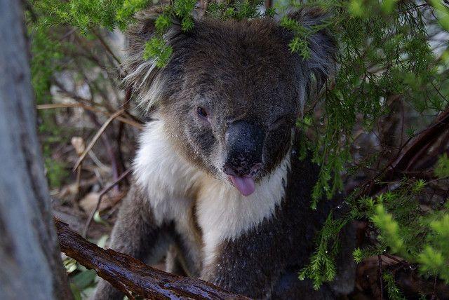 Wet Koala 2 Cuddly Animals Koala Koala Bear