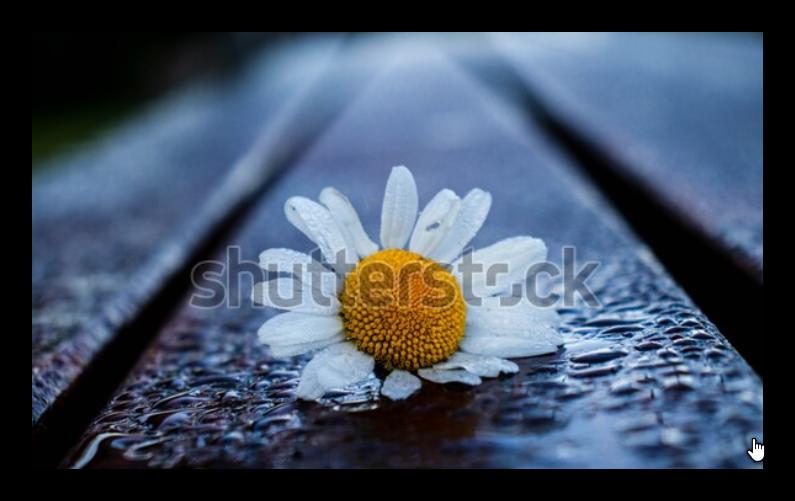 Chamomile Flower On The Garden Bench Is Wet With Rain Droplets زهرة البابونج مبللة بقطرات المطر Chamomile Flowers Chamomiles Spring Flowers