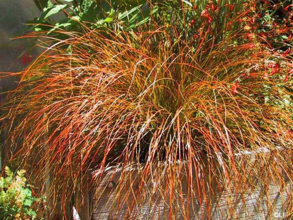 Orange Sedge Grasses, Gardens and Plants - carex bronze reflection