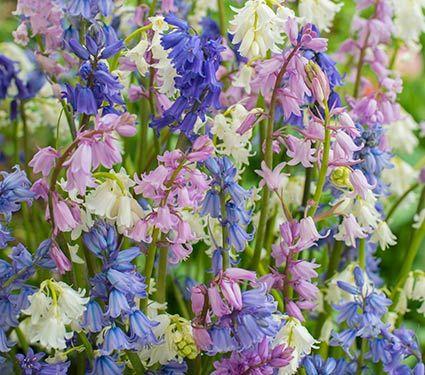 Spanish bluebells mixture white flower farm flower farm and flowers specialty flower bulbs more white flower farm mightylinksfo