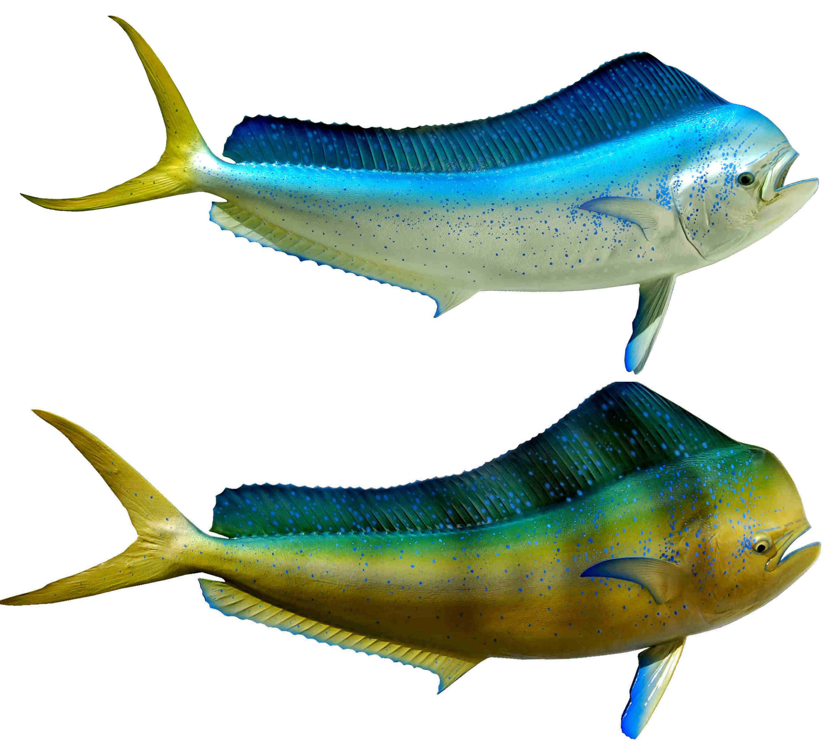 A (reproduction) Bull Dolphin Mount. Get a beautiful fish on the ...