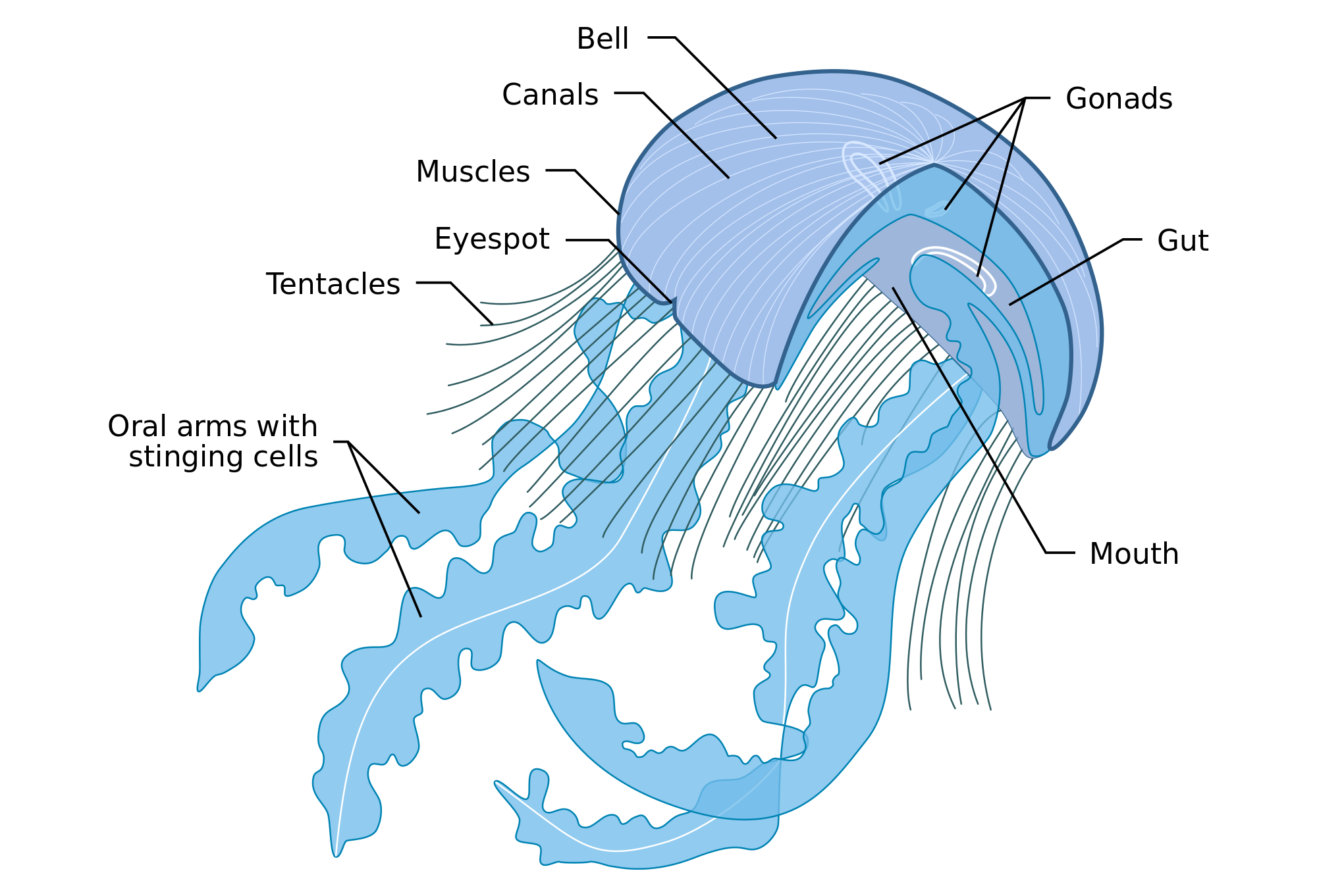 jellyfish anatomy - Google Search | Zoology | Pinterest