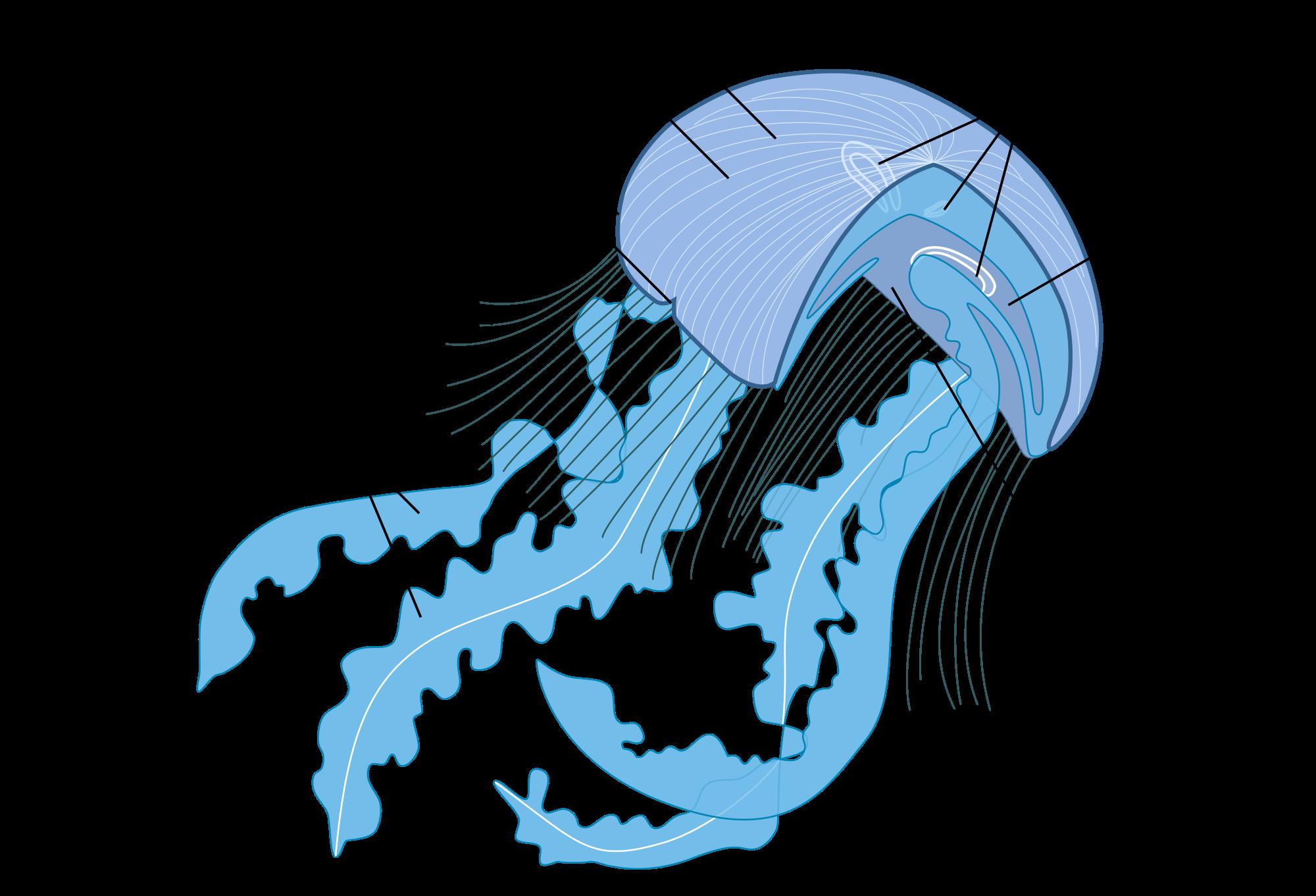 jellyfish anatomy google search zoology pinterest. Black Bedroom Furniture Sets. Home Design Ideas