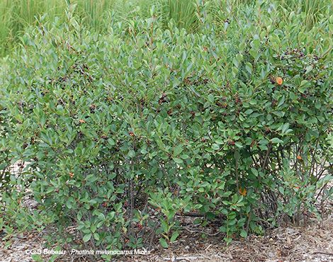 Black Chokeberry Photinia Melanocarpa Chokeberry Plants Native Plants
